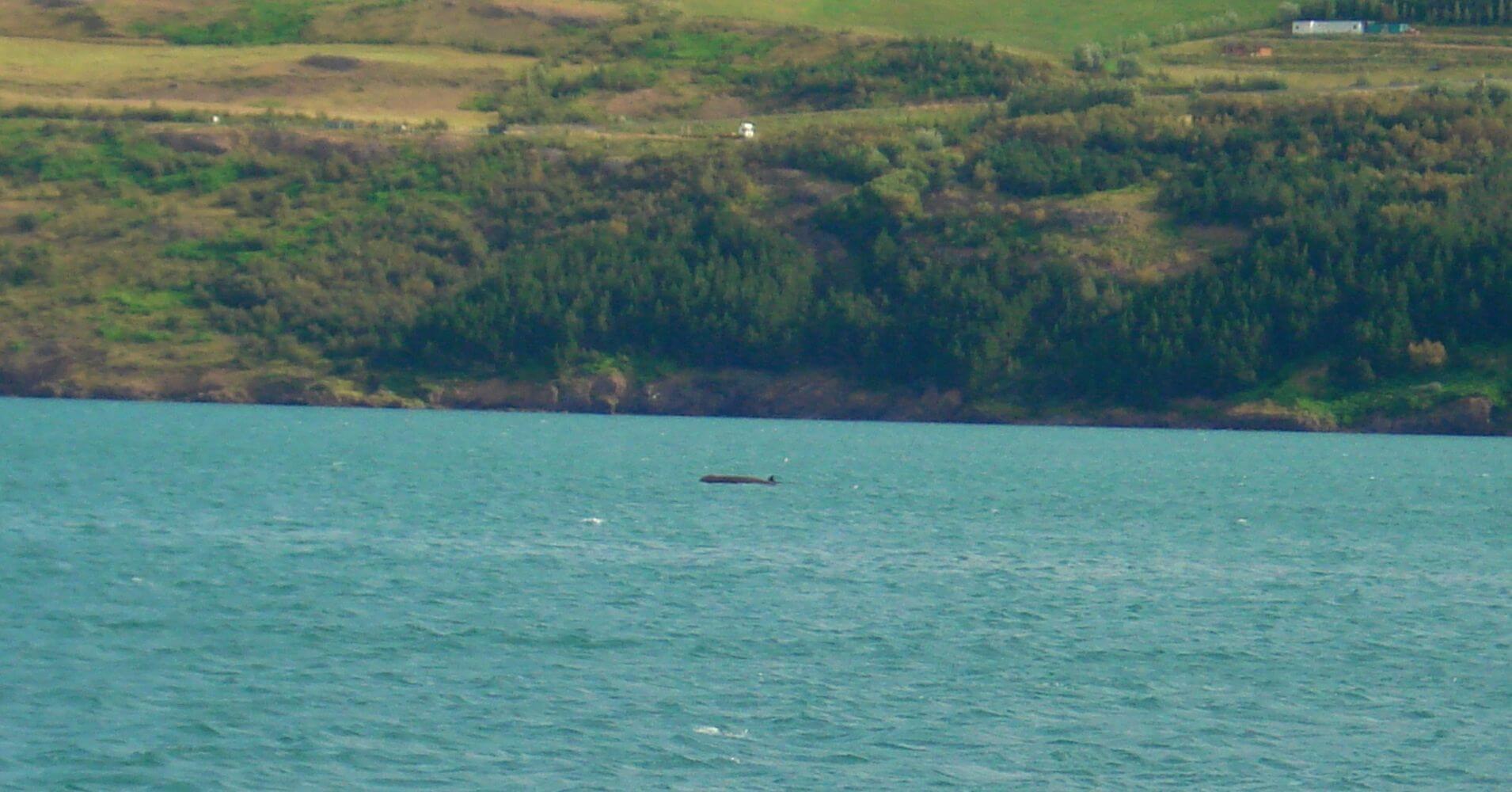 Bahía de Akurery. Ballena Piloto. Islandia.