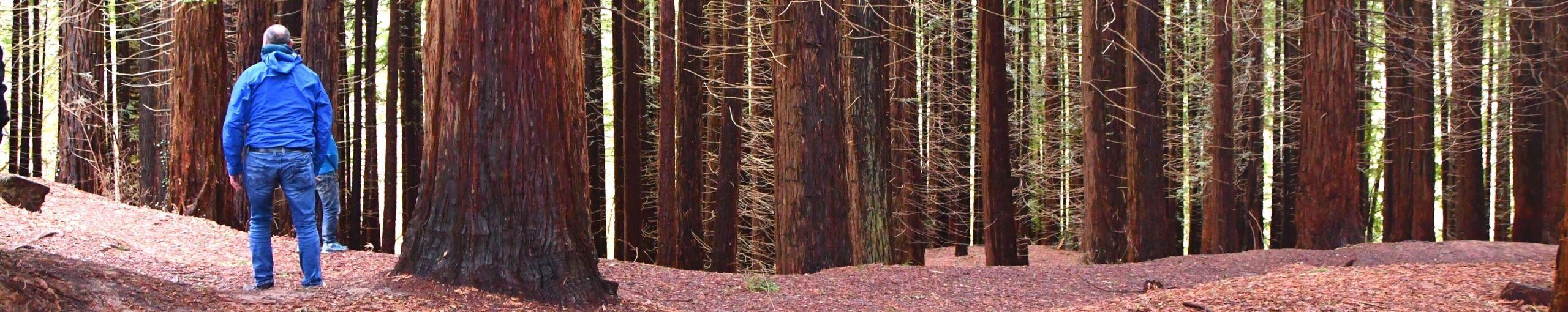 Bosque de Secuoyas. Cabezón de la Sal. Cantabria.