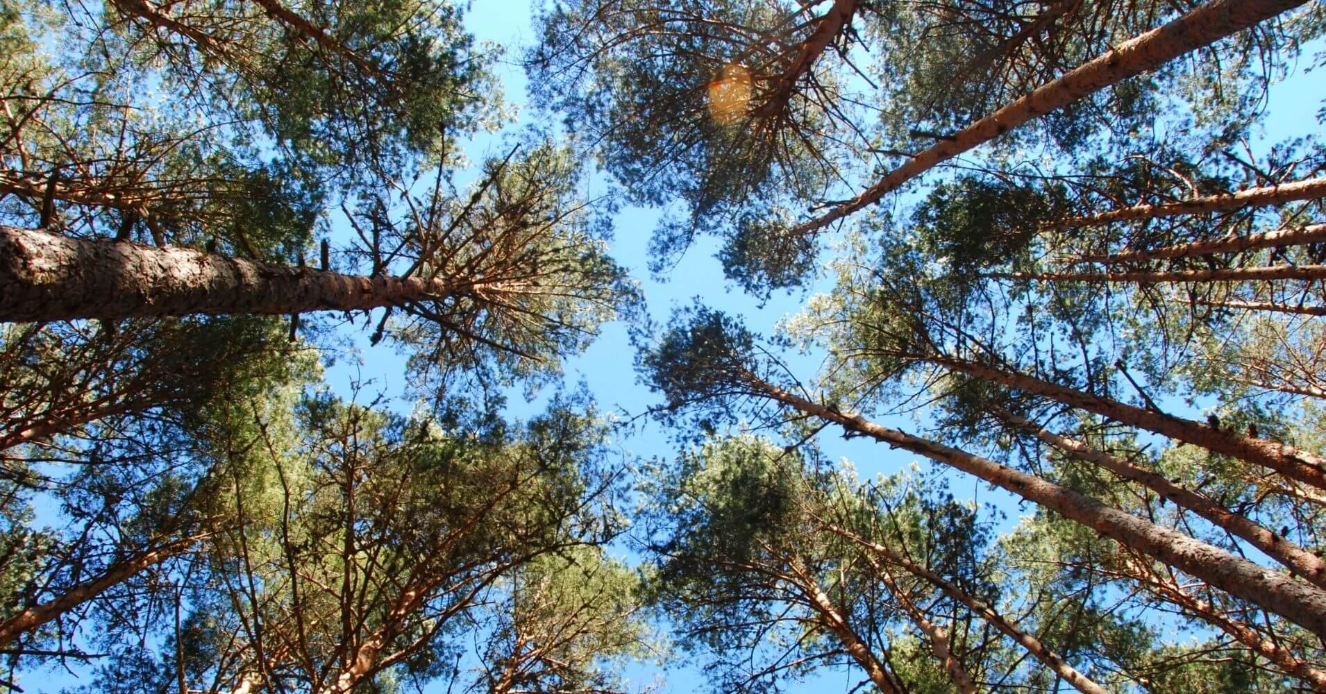 Bosques de Valsaín. Pino Albar o Pino Silvestre. Segovia, Castilla y León.