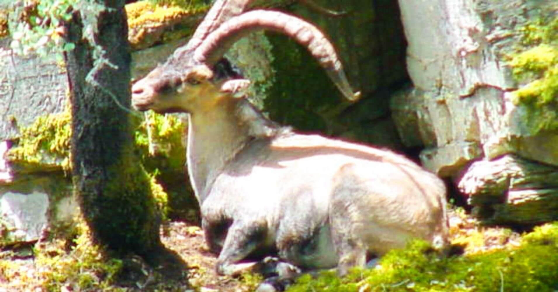 Cabra Hispánica del Valle de Las Batuecas. Parque Natural Batuecas Sierra de Francia. Salamanca, Castilla y León.