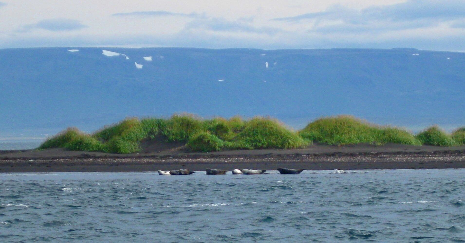 Leones Marinos en Osar. Península de Vatnsnes. Norðurland Vestra. Islandia.