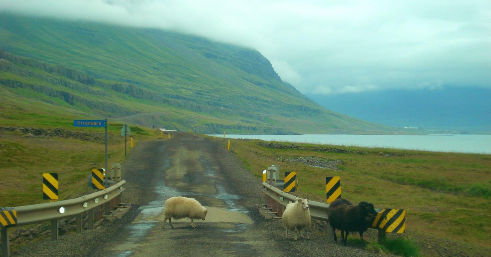 Ovejas de Hallormsstadur Este de Islandia.