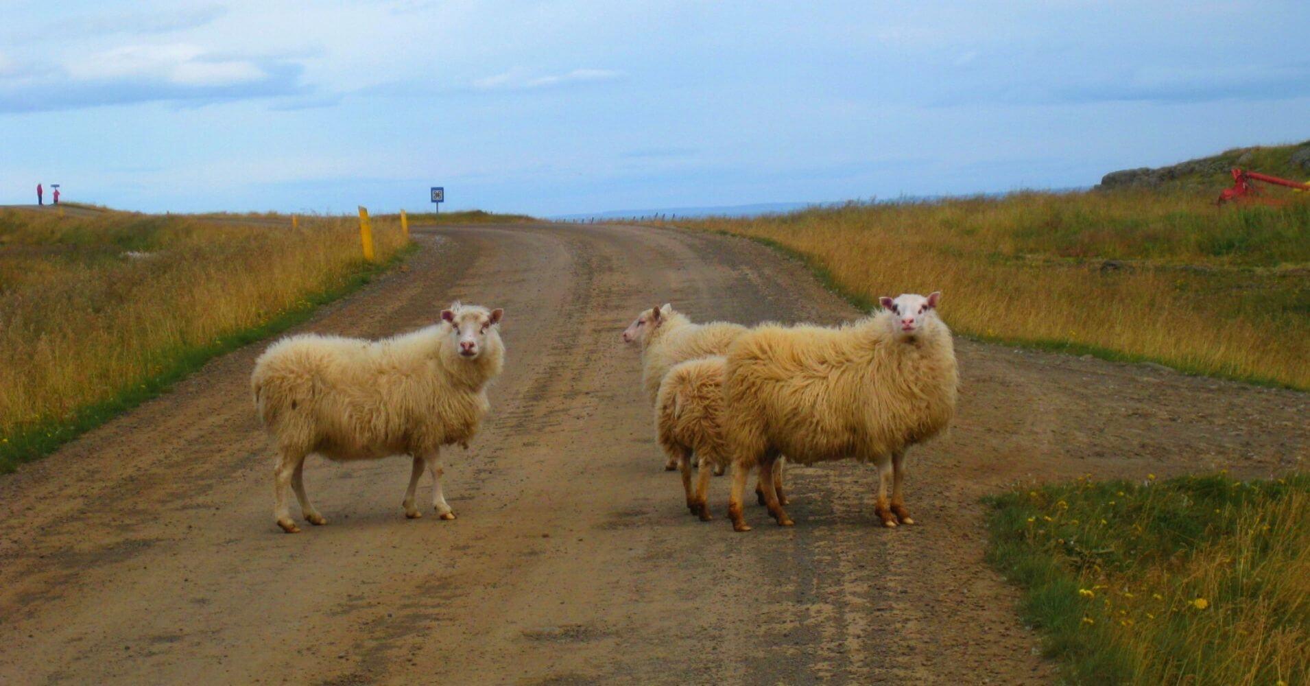 Ovejas en la Carretera. Hvammstangi. Norðurland Vestra. Islandia.