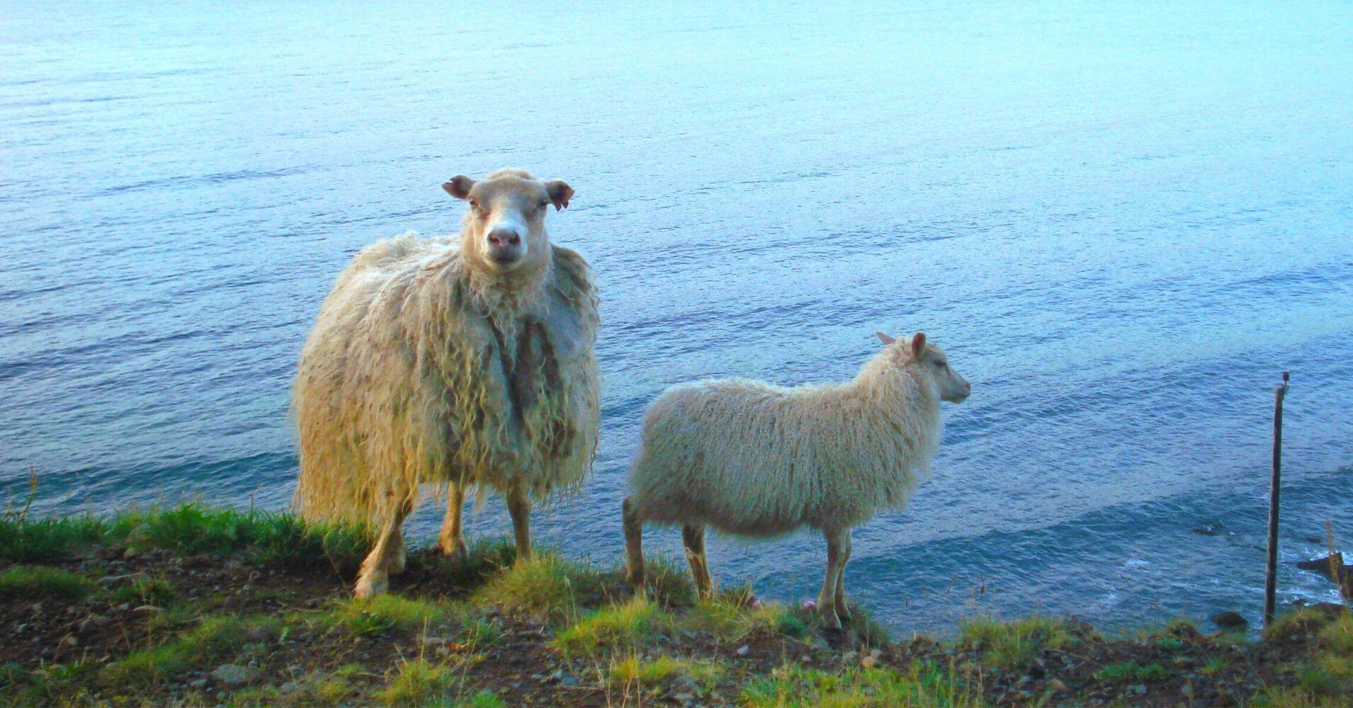 Ovejas en Latrabjarg. Península de Vestfirdir. Islandia.