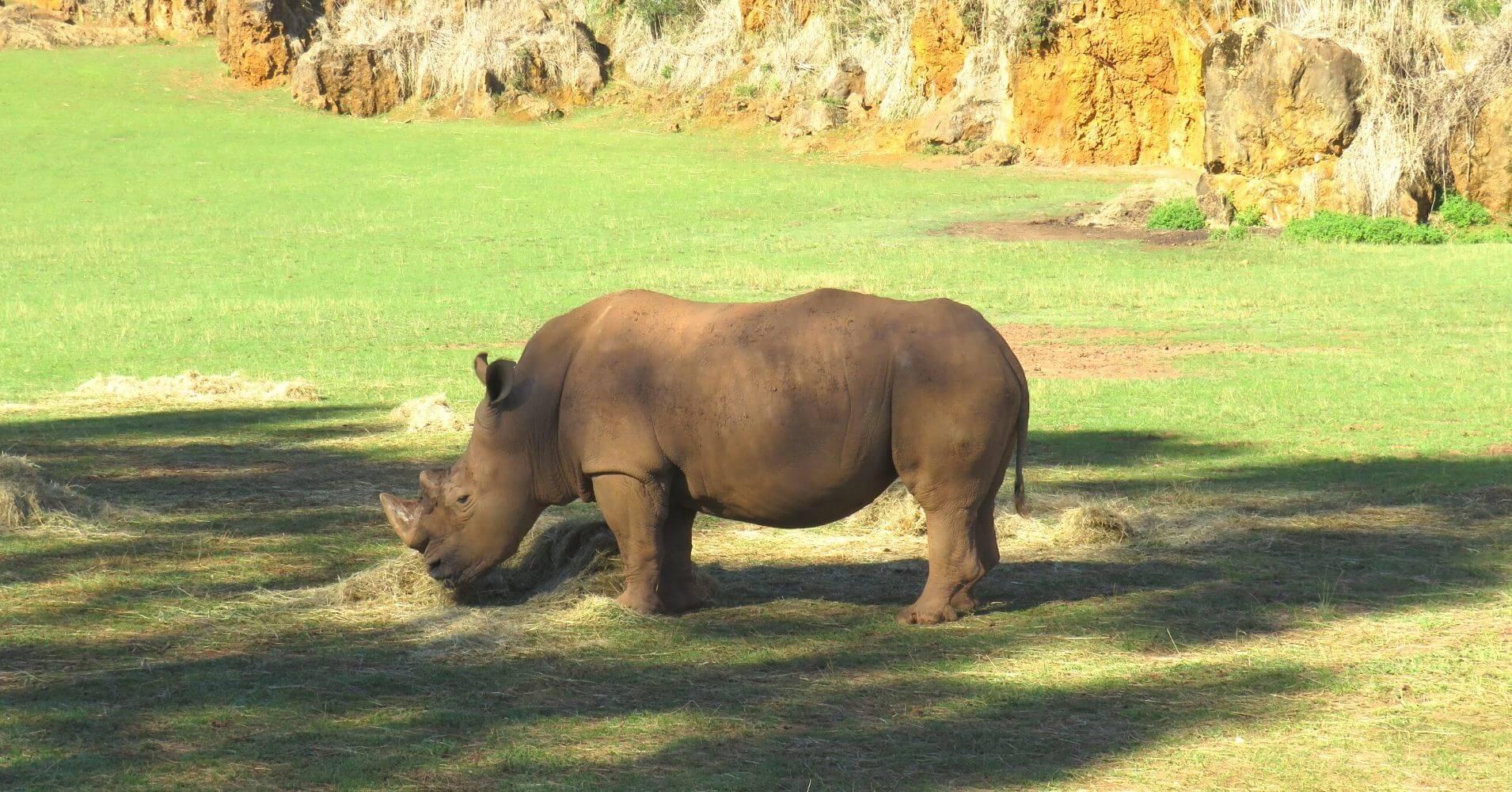 Rinoceronte en el Parque de la Naturaleza de Cabárceno. Obregón. Cantabria.