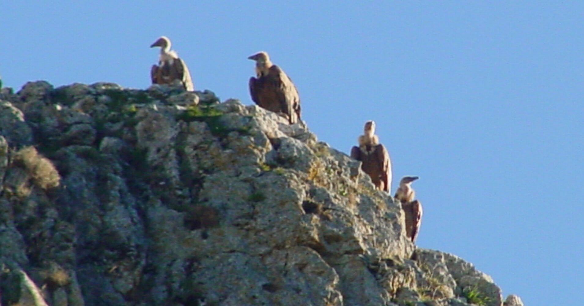 Buitreras del Cañón del Río Lobos. Burgos, Soria. Castilla y León.