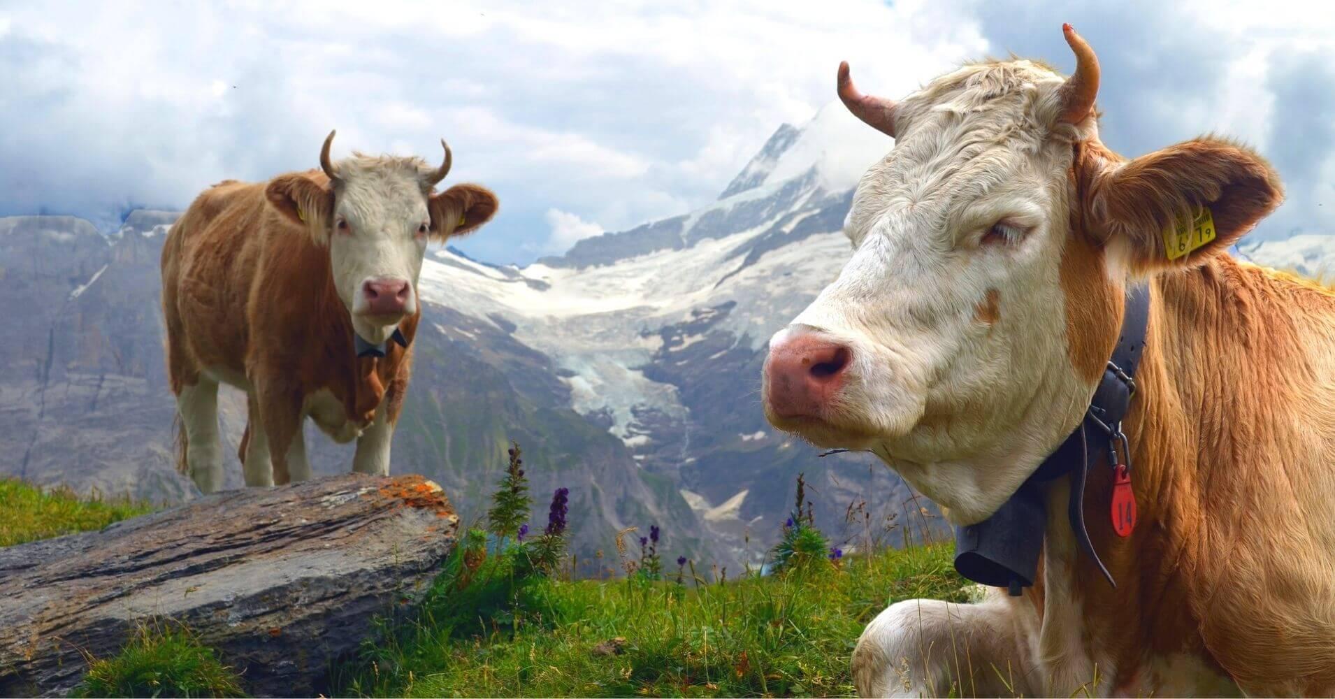 Vacas Pastando, Suiza.